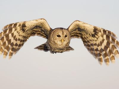 Barred Owl, Strix Varia, in Flight, USA