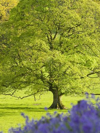 Large Deciduous Tree in Spring