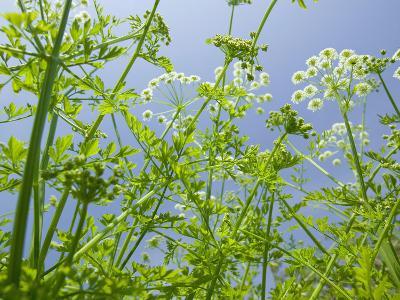 Umbellifer Flowers