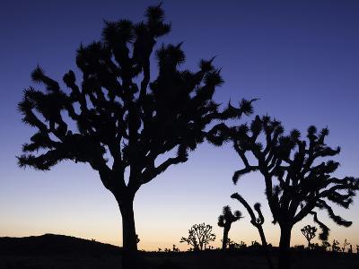 Joshua Trees Silhouetted at Dusk in Joshua Tree National Park, California, USA