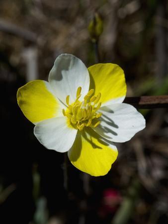 Carnival Poppy (Meconella Linearis), Bodega Head State Park, Sonoma County, Family Papaveraceae