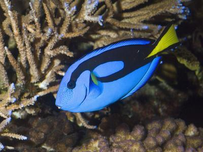 Palette Surgeonfish or Blue Tang (Paracanthurus Hepatus), Indo-Pacific Ocean
