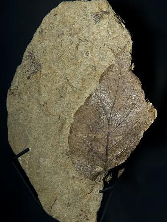 Fossil Leaf, a Broad-Leaf Angiosperm from the Laramie Formation, Dawson County Montana
