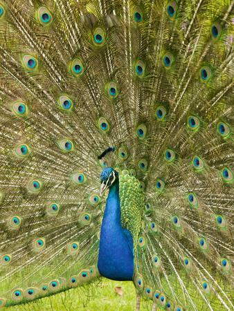 A Male Peacock Displaying