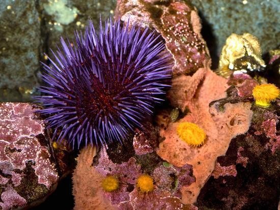 sea urchin decor.htm purple sea urchin  strongylocentrotus purpuratus   seattle  purple sea urchin  strongylocentrotus