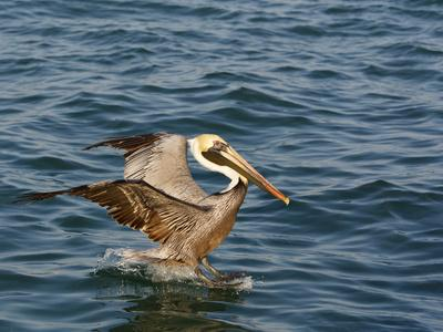 Brown Pelican on Water Surface (Pelicanus Occidentalis)