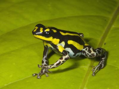 Poison Dart Frog with Yellow Stripes (Dendrobates Flavovittatus) Sitting on a Wet Leaf