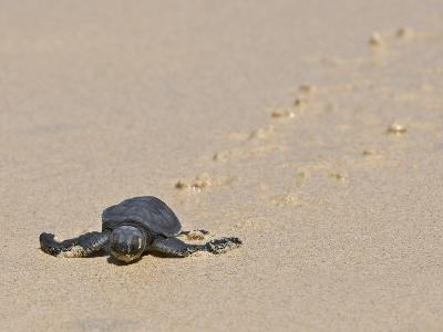Green Sea Turtle Hatchling (Chelonia Mydas Agassizi), Galapagos Islands