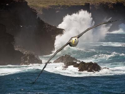 Waved Albatross (Diomedea Irrorata), Galapagos Islands, Ecuador, Composite image