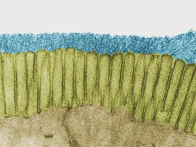 Brush Border of the Intestinal Epithelium Showing Numerous Microvilli and a Prominent Glycocalyx