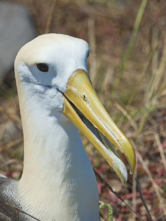 Waved Albatross (Phoebastria Irrorata), Galapagos Islands, Ecuador