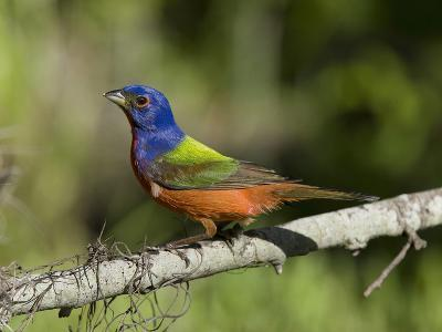 Male Painted Bunting (Passerina Ciris), Charleston, South Carolina, USA