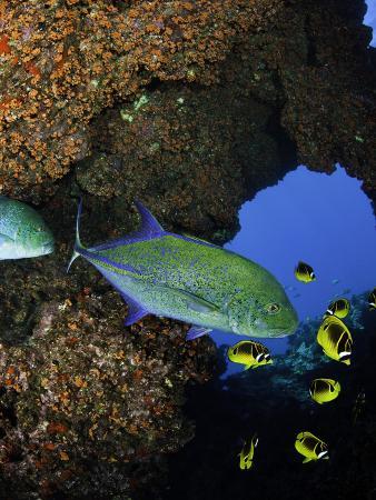 Bluefin Trevally or Jack (Caranx Melampygus) and Schooling Raccoon Butterflyfish