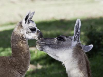 Mother and 10-Day Old Alpaca, (Vicugna Pacos)
