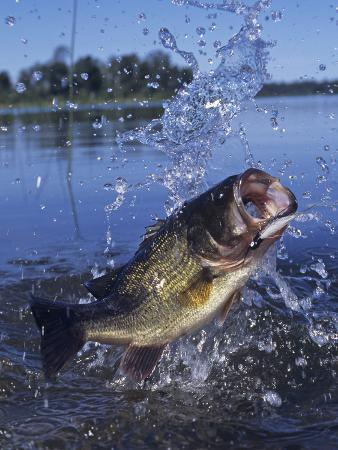 Largemouth Bass Surfacing with a Lure in its Mouth