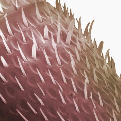 Surface of One Segment of Honey Bee Antenna (Apis Mellifera)