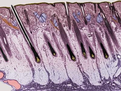 Cross-Section of the Skin on the Human Scalp