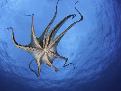 Day Octopus (Octopus Cyanea) Swimming as Seen from Below, Showing its Tentacles and Suckers