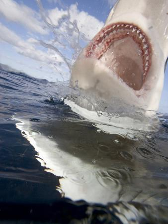 Galapagos Shark Surfacing, Showing its Numerous Sharp Teeth (Carcharhinus Galapagensis)