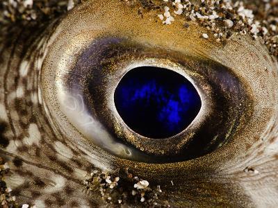 Eye of a Randall's Puffer (Torquigener Randalli), Hawaii, USA