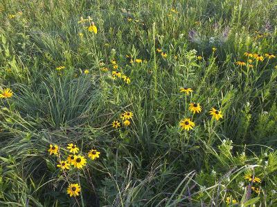 Native Tall Grass Prairie, Steele Prairie State Preserve, Cherokee County, Iowa, USA