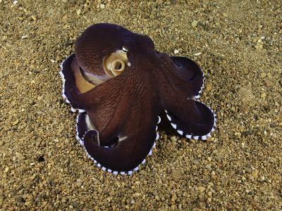 Veined Octopus (Octopus Marginatus), Anilao, Philippines