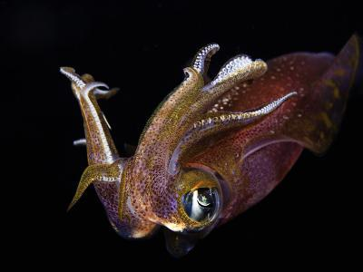 Male Bigfin Reef Squid (Sepioteuthis Lessoniana), Hawaii, USA