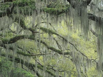 Live Oak Tree, Quercus Virginiana, Draped with Spanish Moss, Tillandsia Usneoides, Southern USA
