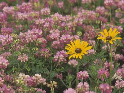 Meadow of Black-Eyed Susans, Rudbeckihirta, and Crown Vetch