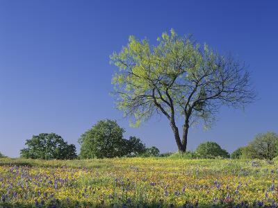 Mesquite Tree Among Low Bladderpod, Paintbrush, and Bluebonnet Spring Wildflowers, Hill Country
