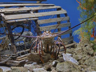 Spiny Lobster Near a Lobster Trap, Panulirus Argus