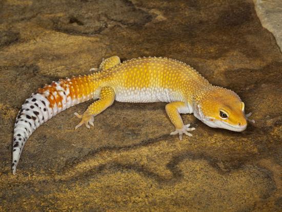 Common Leopard Gecko Morph (Eublepharis Macularius), Pakistan