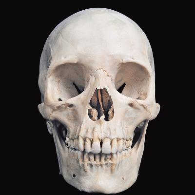 Human Male Skull Viewed from the Front Prominent Features Include the Two Eye Sockets, the Nasal