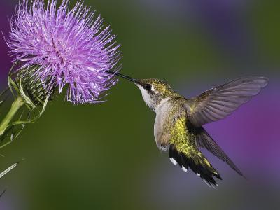 Ruby-Throated Hummingbird in Flight at Thistle Flower, Archilochus Colubris
