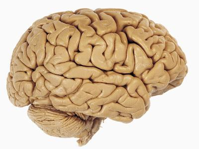Lateral View of the Human Brain Showing the Cerebrum and Cerebellum