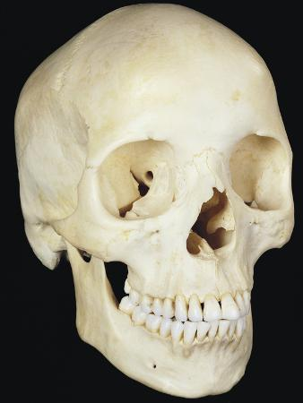 Human Skull from Front Prominent Features Include the Two Eye Sockets