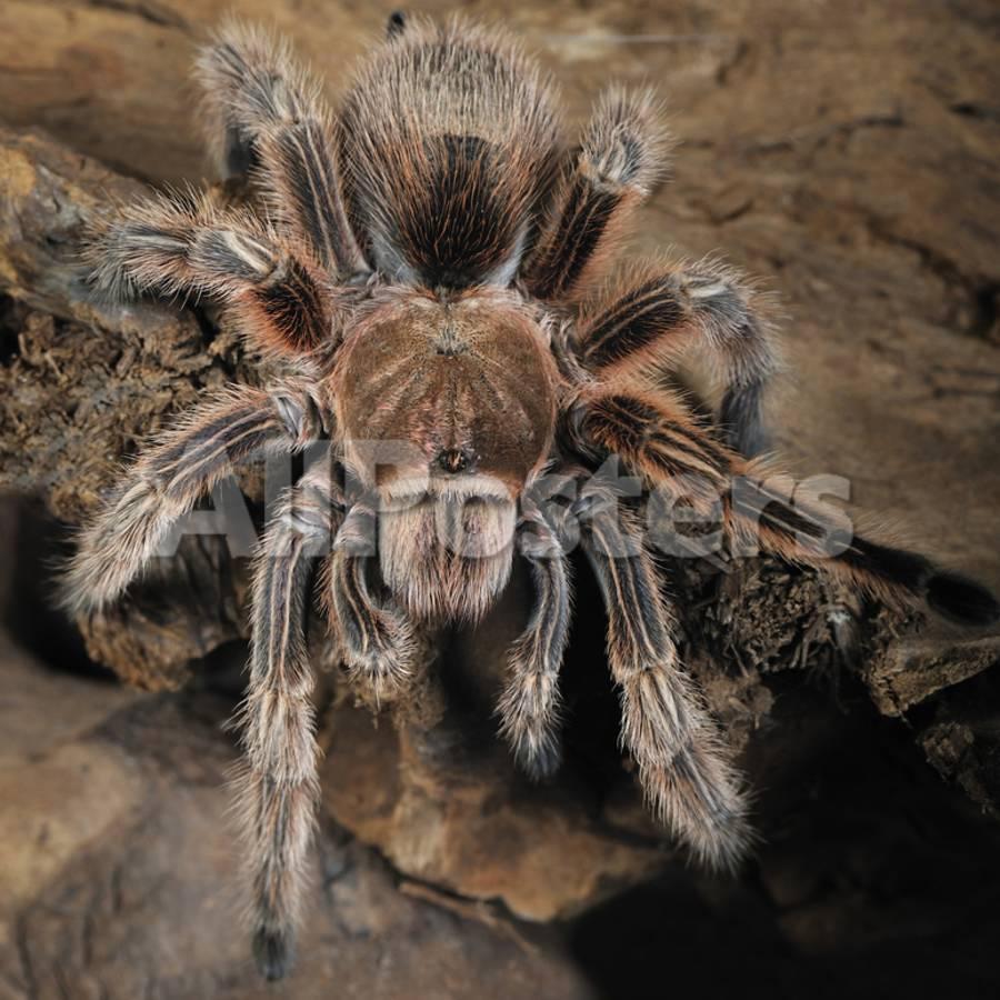 Chilian Rose Hair Tarantula Grammostola Rosea Captive