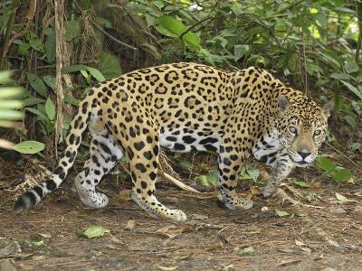 Jaguar Walking (Panthera Onca), Belize