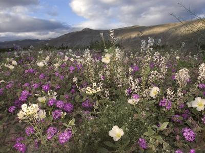 Spring Bloom of Desert Primrose (Oenotherdeltoides) and Sand Verbena (Abronia Villosa)