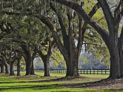 Stately Live Oak Trees Draped in Spanish Moss, Boone Hall Plantation