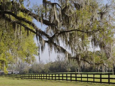 Live Oak Trees Draped in Spanish Moss, Boone Hall Plantation, Mount Pleasant, Christ Church Parish