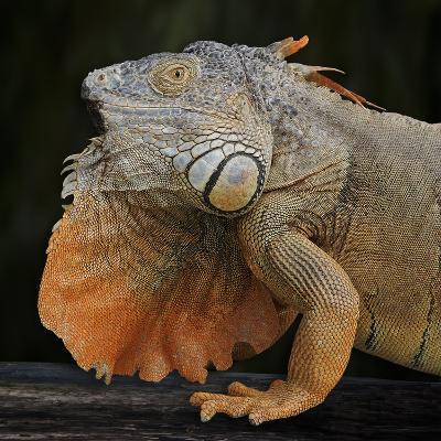 Albino Iguana (Iguana Iguana), Captive