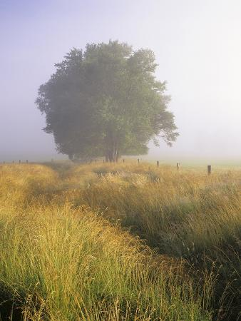 Single Tree in a Field on a Foggy Morning