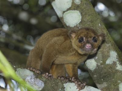 Kinkajou (Potos Flavus), Cockscomb Basin Wildlife Sanctuary, Belize