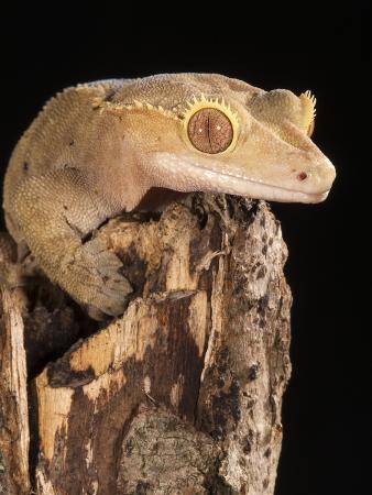 Crested Gecko Head (Rhacodactylus Ciliatus), New Caledonia, Captivity