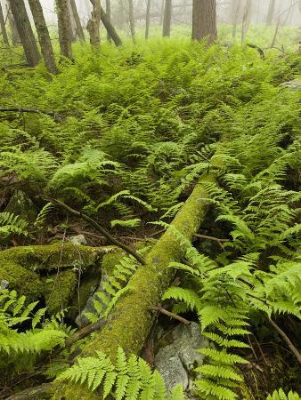 Ferns on the Forest Floor, Pennsylvania, USA