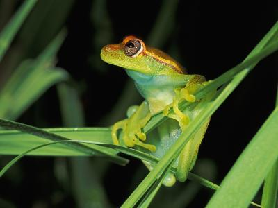 Spotted Tree Frog Perched on Green Leaves (Hyla Punctata), Manu National Park, Peru