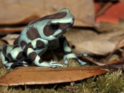 Green and Black Poison Dart Frog (Dendrobates Auratus), Captive