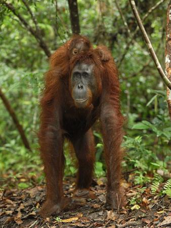 Borneo Orangutan Female with its Baby Riding on its Back While Knuckle Walking