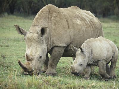 White Rhinoceros Mother and its Baby, Ceratotherium Simum, Nakuru, Kenya